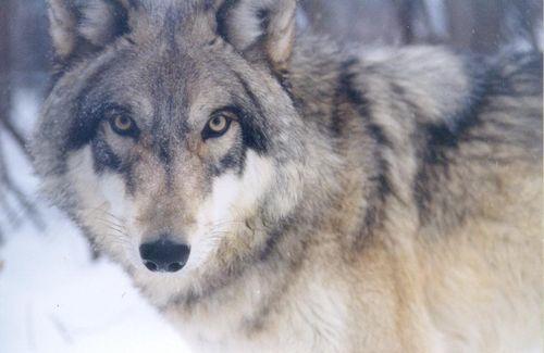 Wolfcloseup